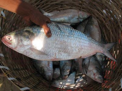 Hilsa Fish ilish khoka