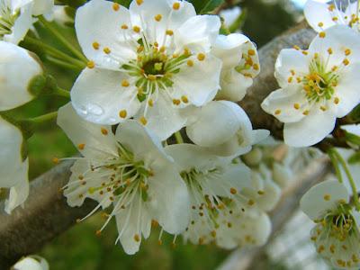 http://3.bp.blogspot.com/_WsBO5TnAMYo/SMN54I51fLI/AAAAAAAAAC8/aTqqGRuS8lY/s400/blossom_white.jpg