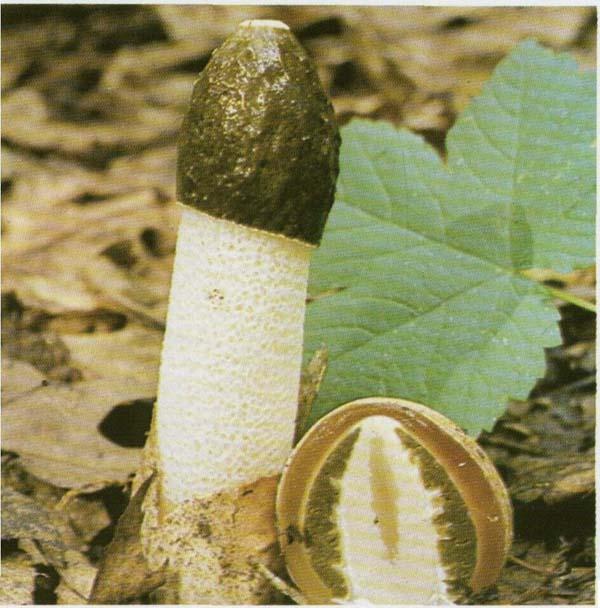 гриб веселка суставы