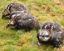 Young ospreys from the 2007 season in the Tweed Valley.