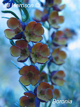 Boronia