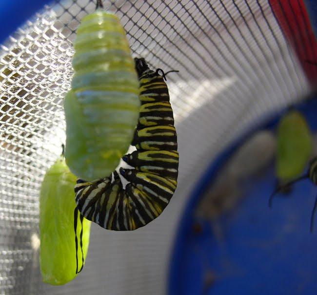 caterpillar cartoon clip art. Cartoon Caterpillar Cocoon.