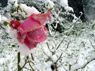 Ruza pod plastom snega i leda