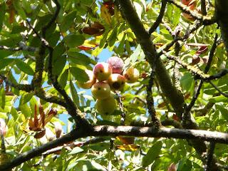 sorbole frutti sorbo maturazione