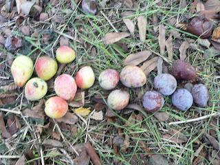sorbole frutti sorbo