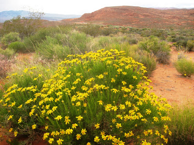 PHoto of Desert Blossoms in April 2010 by Roland Lee