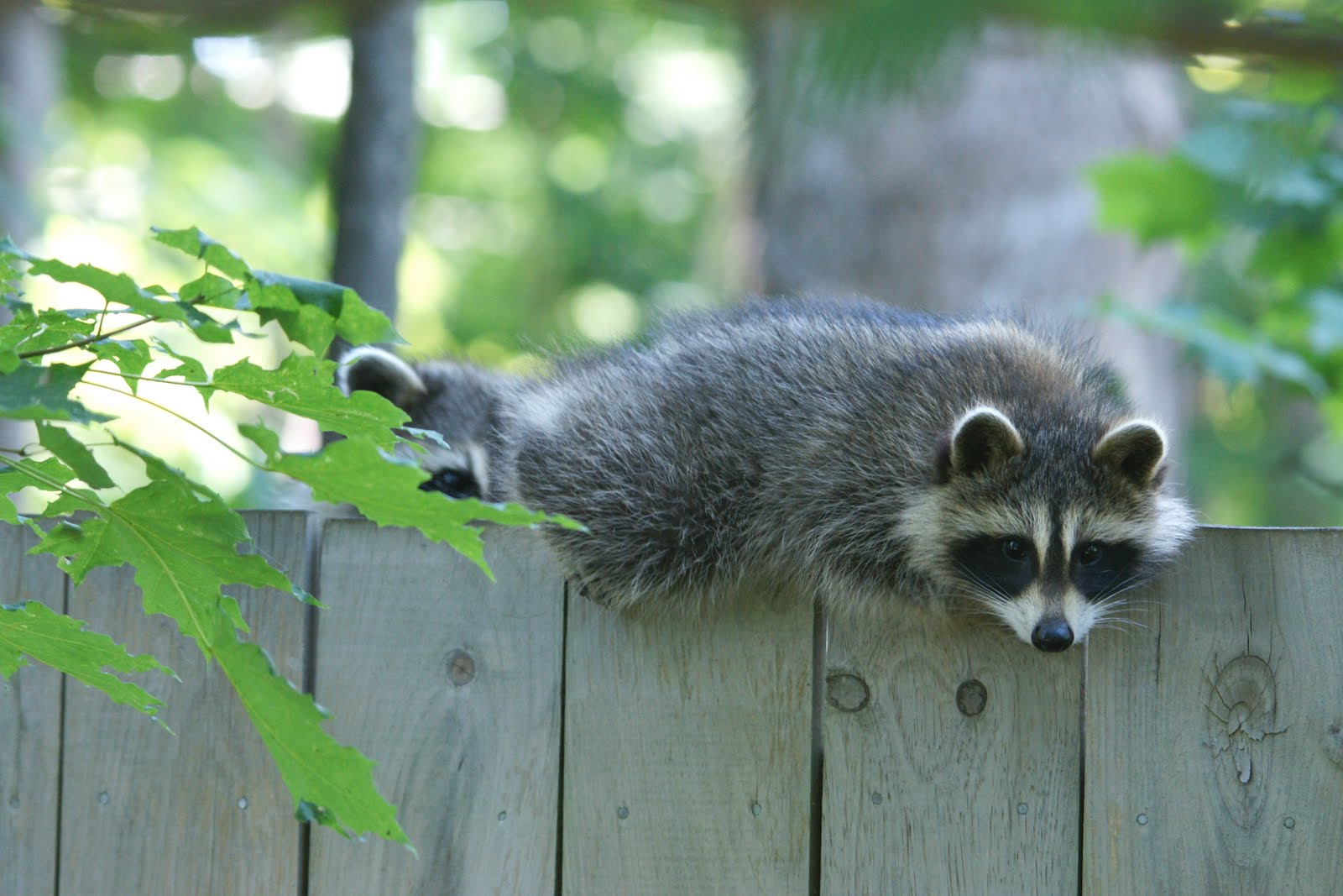 nature works photography baby raccoons in the yard
