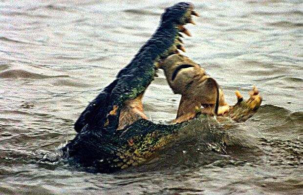crocodile eating shark