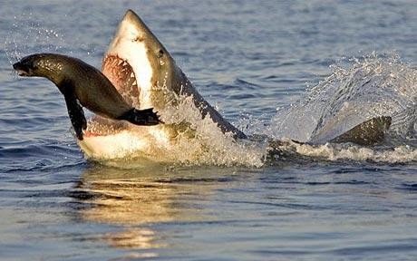 bull shark eating. ull shark eating. quot;When
