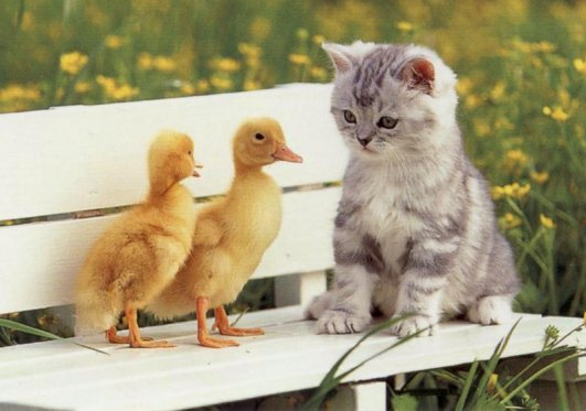 cute kitten with two ducks