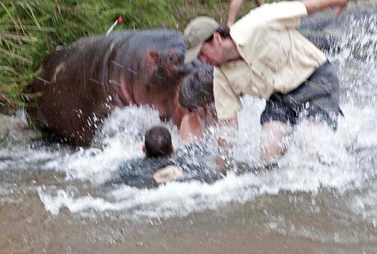Giant snake eating hippo - photo#16