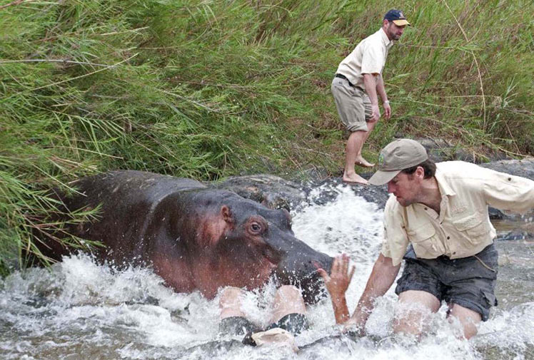 Hungry Hungry Hippos   Animals eating Animals  Hippopotamus