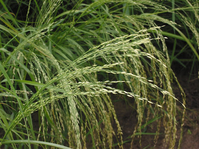 teff (click to enlarge)