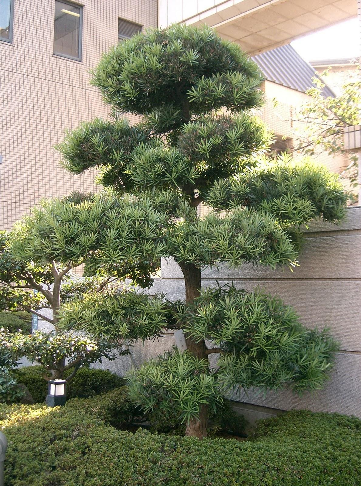 Podocarpus Macrophyllus Shrub ID