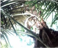 anau tree