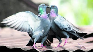 romantic pair of pigeons card
