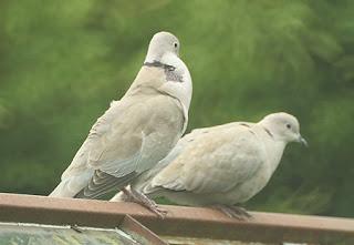loving doves ecard