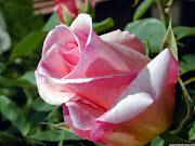 Rosa De Wikipedia, la enciclopedia libre. Saltar a navegación, búsqueda (rosa rosas)