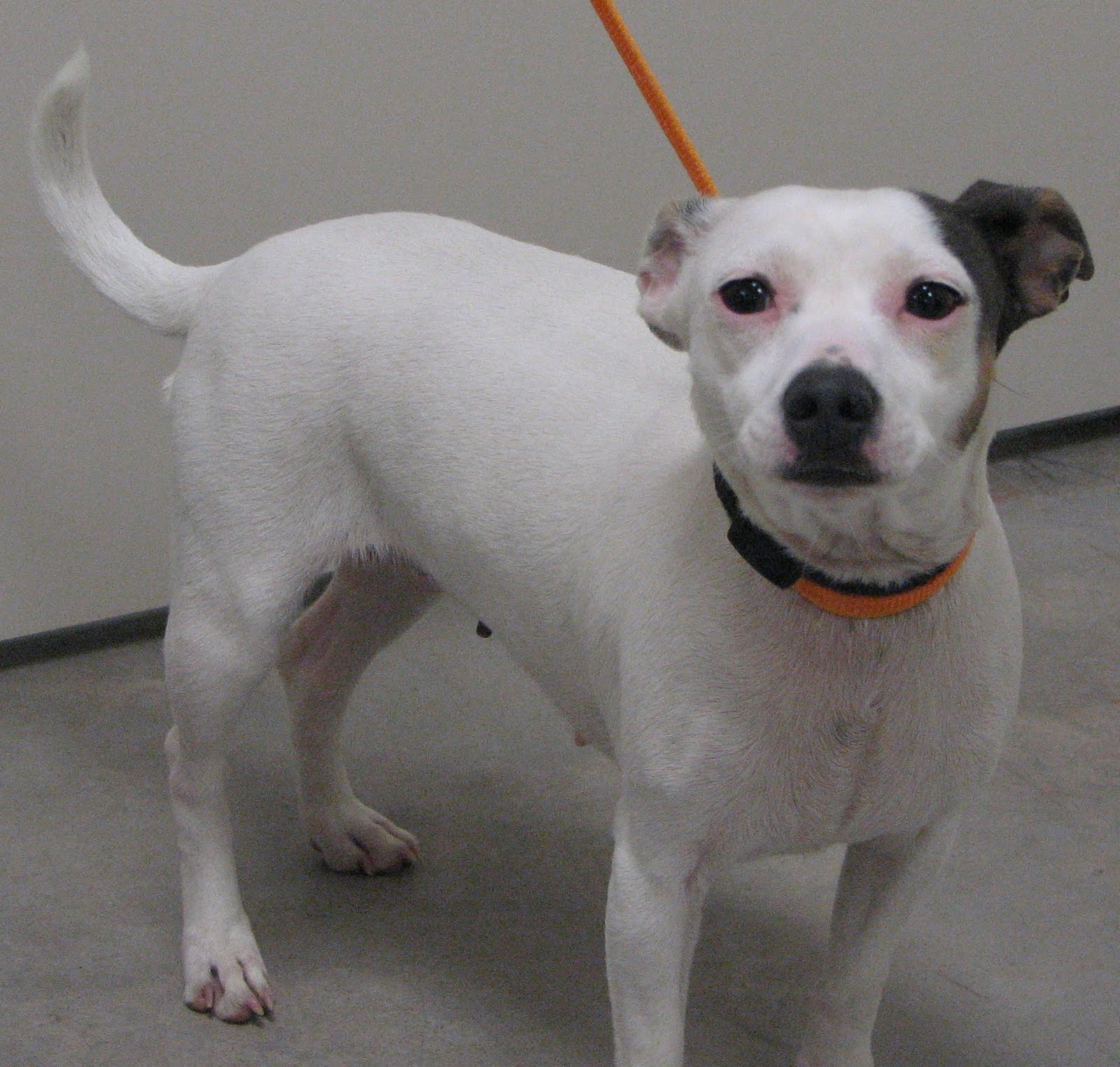 UPDATE: Imp has been re-named Miracle and is in care of Russell Rescue ... Chihuahua X Pitbull