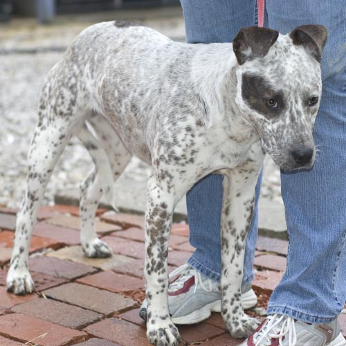 heeler mix dog. Loves other dogs and loves