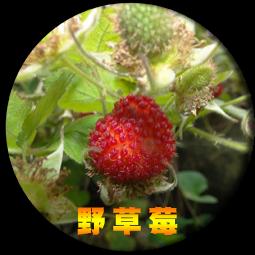 白石湖的野草莓