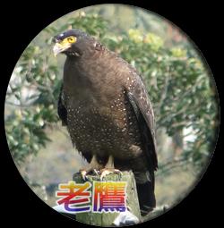 白石湖的老鷹