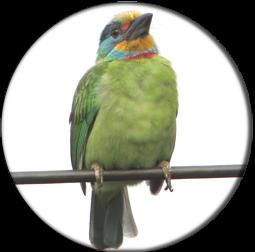 白石湖的五色鳥
