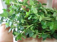 Thyme plant photo