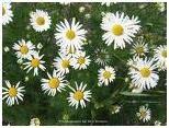 Chamomile herb photo
