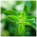 Marjoram herb photo