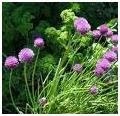 Chives herb image