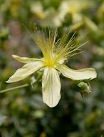 medicinal herb photo