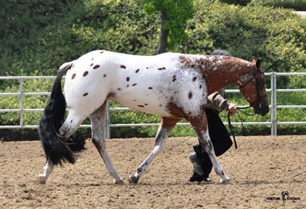 appaloosa horse club. Appaloosa Horse Club,
