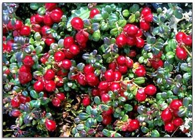 الـتـوت cranberry.jpg