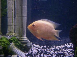 Freshwater aquarium fish cichilds gold servrmus for Common freshwater fish