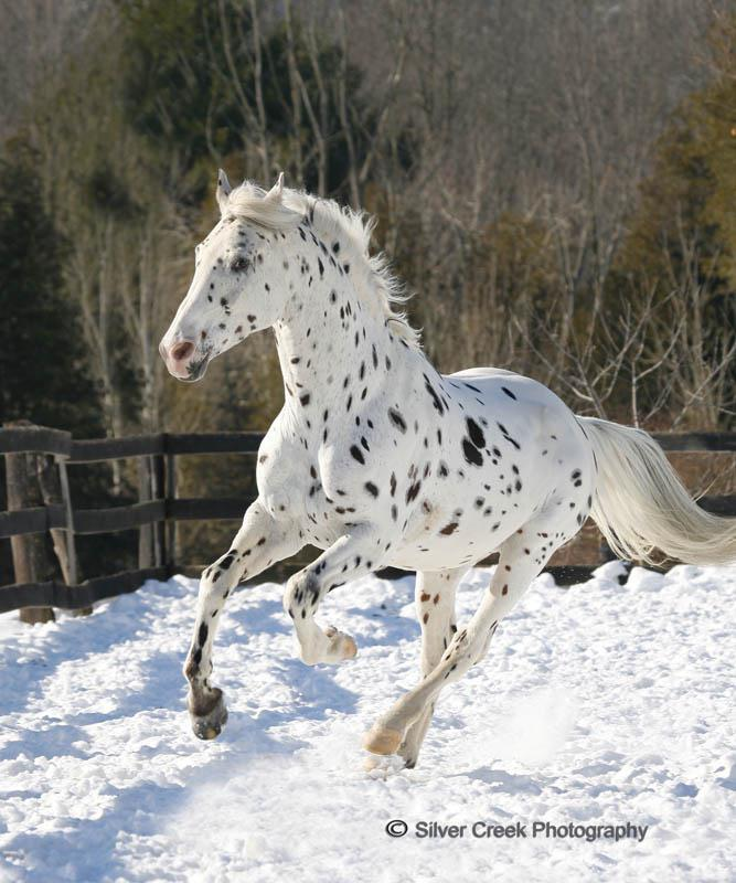 Pictures and Names (Bios coming soon!) Appaloosa+and+arabian