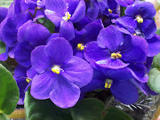 My Violets
