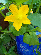 Squash in Bloom, May, 2010