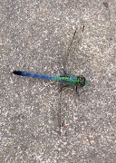 My Blue-Green Dragonfly