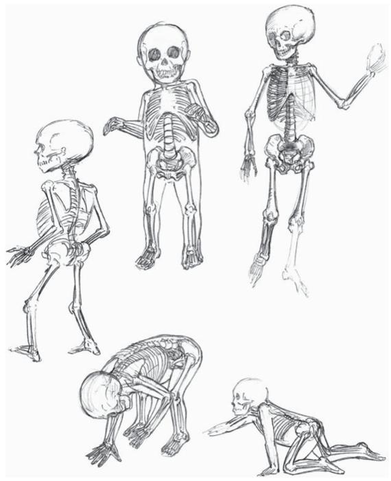 human skeleton drawing. a juvenile human skeleton,
