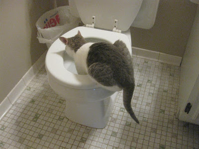 cat drinking out of toilet, wet seat