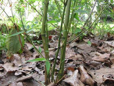 transplant bamboo plant, how to, diy, garden, tree