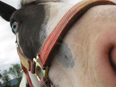 horse with weird blue eye, close up