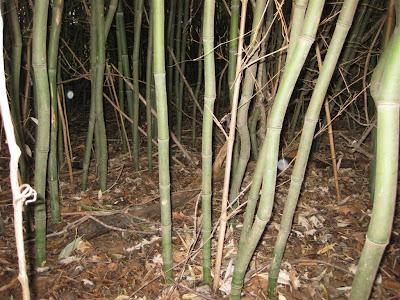 bamboo grove in west virginia, yellow grove bamboo