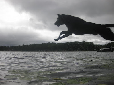 labrador jumping into the lake, off the dock