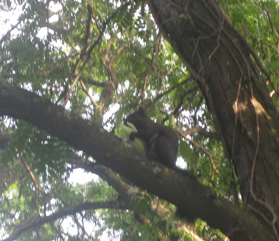 squirrel in tree eating corn, about to get shot