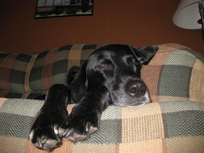 max, lab, asleep on the couch