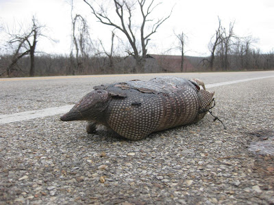 armadillo by road, dead, tennessee, cross country motorcycle trip, USA