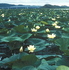 american lotus, threatened, endangered, invasive plant