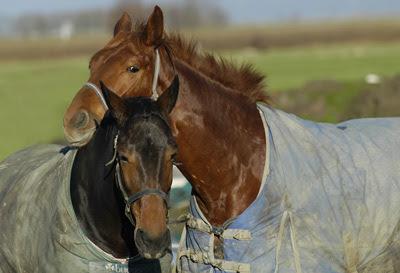 paarden en kou